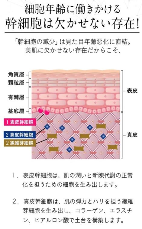 シマボシ レストレーションセラム 口コミ shimaboshi 幹細胞美容液 成分 肌構造